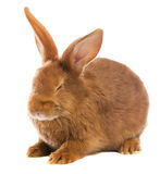 Lapin brun clair Photo stock