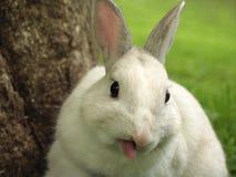 Lapin collant à l'extérieur sa langue Photo stock