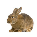 Lapin commun Images stock