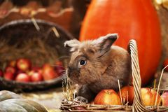 Lapin décoratif dans l'emplacement d'automne, se reposant parmi les potirons du foin et des pommes photographie stock
