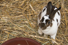 Lapin d'animal familier Images libres de droits