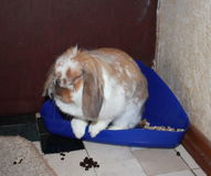 Lapin d'animal familier Image stock
