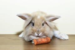 Lapin d'or avec la carotte, animal familier domestiqué, pensant à l'avenir approprié aux enfants Images libres de droits