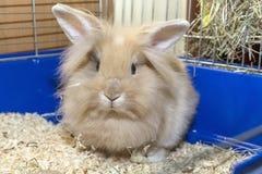 Lapin d'or dans une cage bleue Animal familier mignon domestique pour des enfants Photographie stock libre de droits
