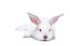 Lapin d'isolement blanc mignon de chéri photographie stock libre de droits