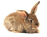 lapin d'isolement somnolent Photos stock