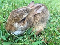 Lapin dans l'herbe Photos stock