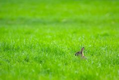 Lapin dans l'herbe Photos libres de droits