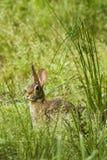 Lapin dans l'herbe grande Image libre de droits