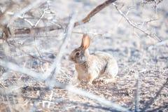 Lapin dans le désert avec des branches image libre de droits