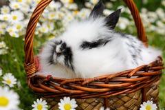 Lapin dans un panier sur une pelouse avec des marguerites Images libres de droits