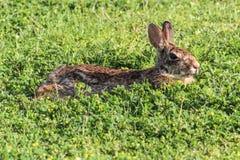 Lapin de Brown, détendant dans le trèfle, côté-vue Photo libre de droits