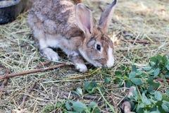 Lapin de Brown mangeant l'herbe et le foin frais dans un élevage biologique Image stock
