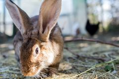 Lapin de Brown mangeant l'herbe et le foin frais dans un élevage biologique Photos libres de droits