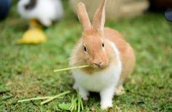 Lapin de lapin, brun et blanc mignon, photographie stock libre de droits
