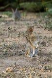 Lapin de désert, audubonii de Sylvilagus Photos libres de droits