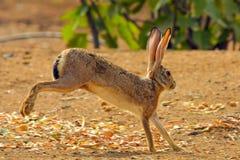 Lapin de lapin dans Jeddah, Arabie Saoudite photos stock