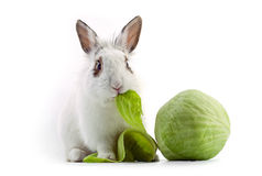 Lapin de fantaisie blanc mangeant du chou Photo stock