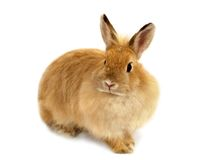 Lapin de gingembre Photo stock