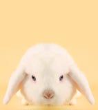 Lapin de lapin images libres de droits
