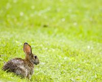 Lapin de lapin Image libre de droits