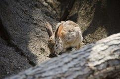 Lapin de lapin de désert photo libre de droits
