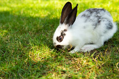 Lapin de lapin mangeant l'herbe Photo stock