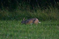 Lapin de lièvres de Brown frôlant l'herbe Photographie stock libre de droits