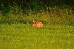 Lapin de lièvres de Brown frôlant l'herbe Images stock
