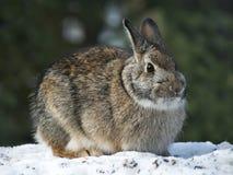 Lapin de lièvres de raquette - Lepus américanus - sur la neige en hiver Image libre de droits