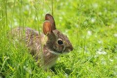 Lapin de lapin oriental image stock