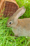 Lapin de Pâques avec des oeufs dans le panier Photos libres de droits