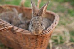 Lapin de Pâques dans le panier Image stock