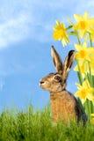 Lapin de Pâques se reposant dans le pré avec des jonquilles Photos libres de droits