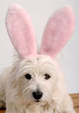 Lapin de Westie Photos stock