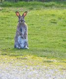 Lapin debout Photo stock