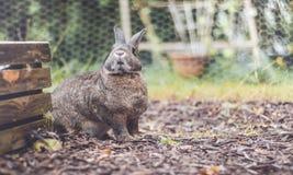 Lapin domestique gris et brun adorable dans le jardin, arrangement de vintage photo libre de droits