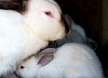 Lapin et petit lapin Image stock
