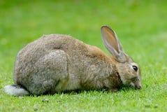 Lapin européen mangeant l'herbe Images libres de droits