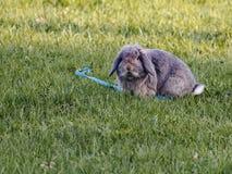 Lapin français de Lop se reposant sur l'herbe verte près de la laisse bleue photos stock
