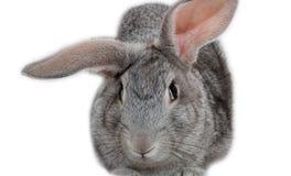 Lapin gris image libre de droits