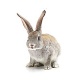 Lapin gris photographie stock