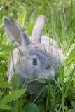 Lapin gris Photographie stock libre de droits