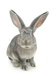 Lapin gris Images stock