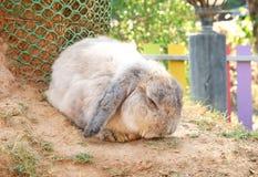Lapin gris d'éleveur dans la ferme de lapin Photos libres de droits
