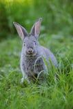 Lapin gris de chéri Photo libre de droits