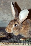 Lapin gris mignon photos stock