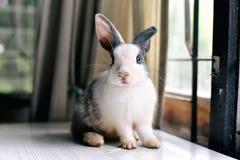 Lapin gris semblant frontward à la visionneuse, peu de lapin se reposant sur le bureau blanc Photo libre de droits