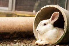 Lapin isolé blanc se reposant au tuyau concret dans la cage photo stock