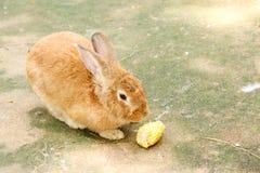 Lapin mangeant de la nourriture de lapin Photo libre de droits